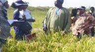 53 variétés de riz testées à Kolda