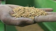 Bassin de l'Anambe : Près de 600 millions de FCfa générés en 2016 par la vente de semences