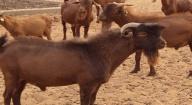 Introduction de la chèvre rousse de Maradi du Niger : 30 sujets en expérimentation à l'Ensa de Thiès
