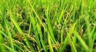 A Missirah Niombato, des femmes expérimentent la production de semences de riz certifiées
