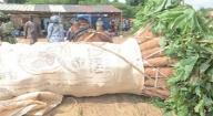 Production du manioc dans les Niayes : Des variétés importées du Ghana redonnent de l'espoir aux producteurs