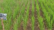 Introduction des variétés Nerica et Sahel : Les rendements de riz triplés en basse Casamance