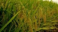 Riz : résultats convaincants sur un sol enrichi avec de l'arachide et du phosphate