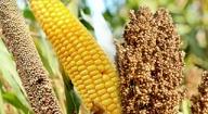 Diffusion à grande échelles des variétés à cycle court: Le PPAAO/WAAPP au chevet des producteurs